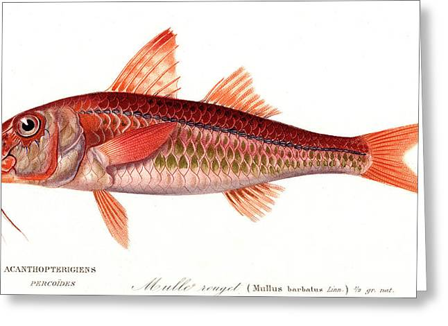 Red Mullet Greeting Card