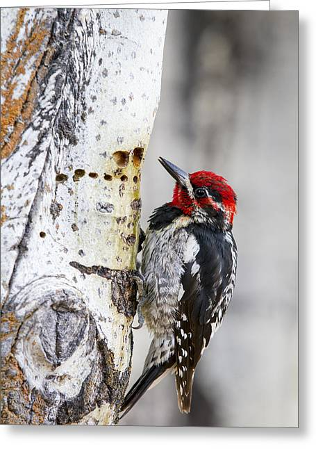 Red-naped Sapsucker Greeting Card