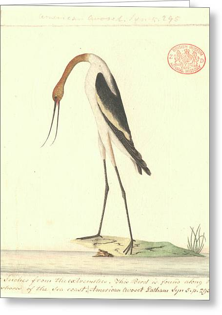 Red-necked Avocet Greeting Card by Natural History Museum, London
