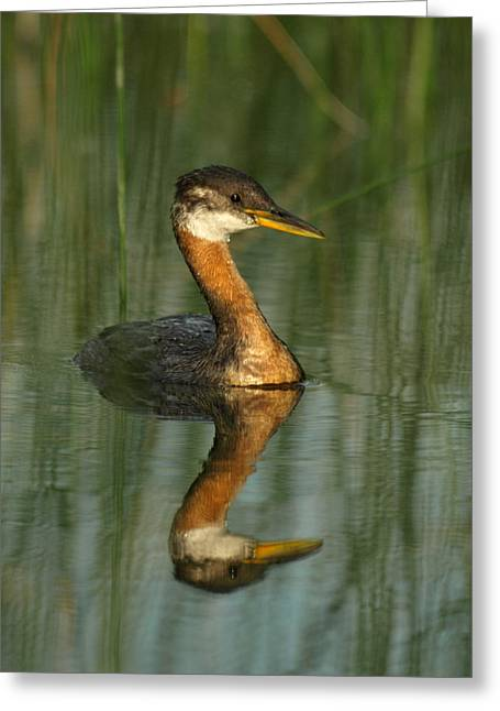 Greeting Card featuring the photograph Red-necked Grebe by James Peterson