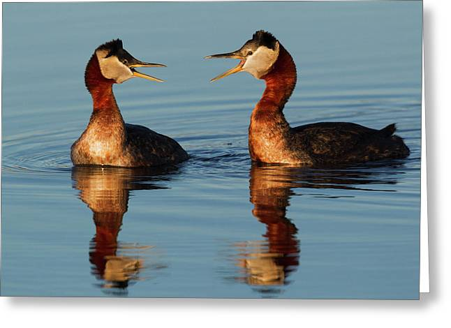 Red-necked Grebes Calling Greeting Card by Ken Archer