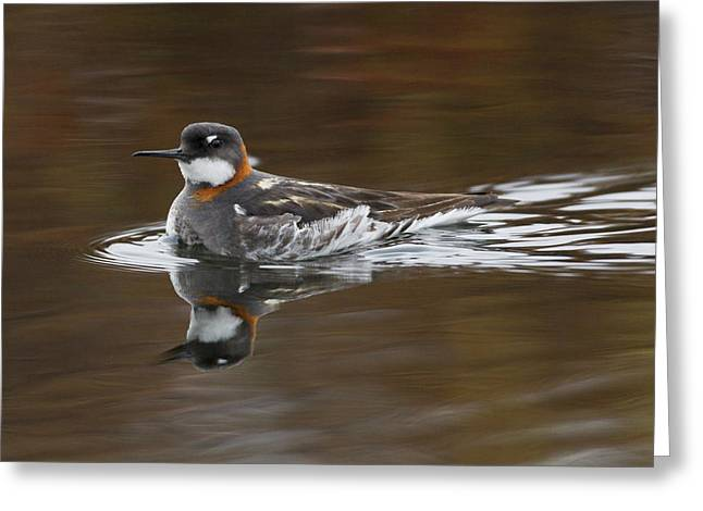Red-necked Phalarope, Female Greeting Card by Ken Archer