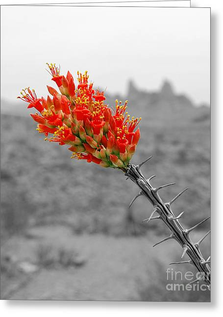 Red Ocotillo Flower And Mule Ears Formation In Big Bend National Park Color Splash Black And White Greeting Card by Shawn O'Brien