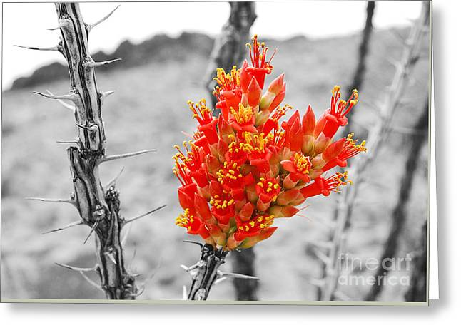 Red Ocotillo Flower In Big Bend National Park Color Splash Black And White Greeting Card by Shawn O'Brien