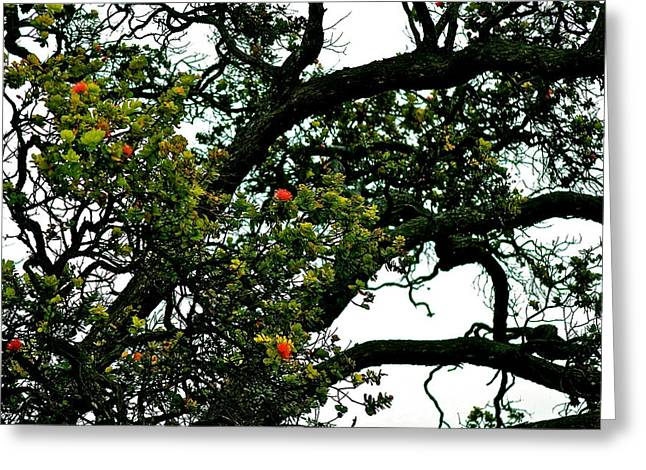 Red Ohia Lehua Tree Greeting Card