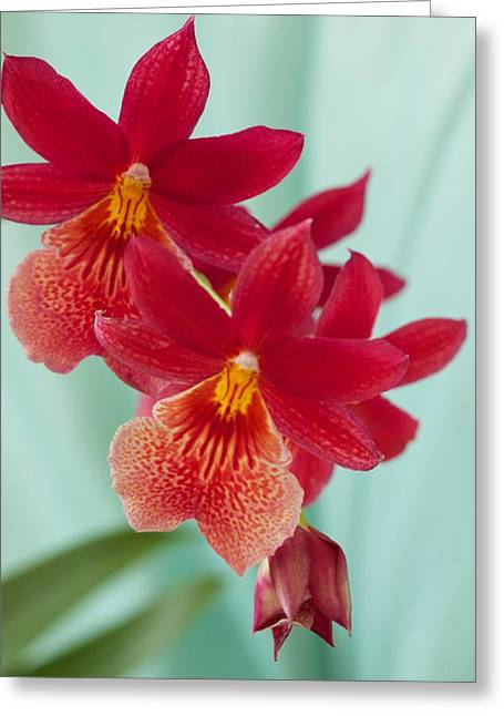 Red Orchids On Blue Greeting Card by Bonita Hensley