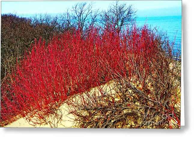Red Osier Dogwood Greeting Card by Gary Richards