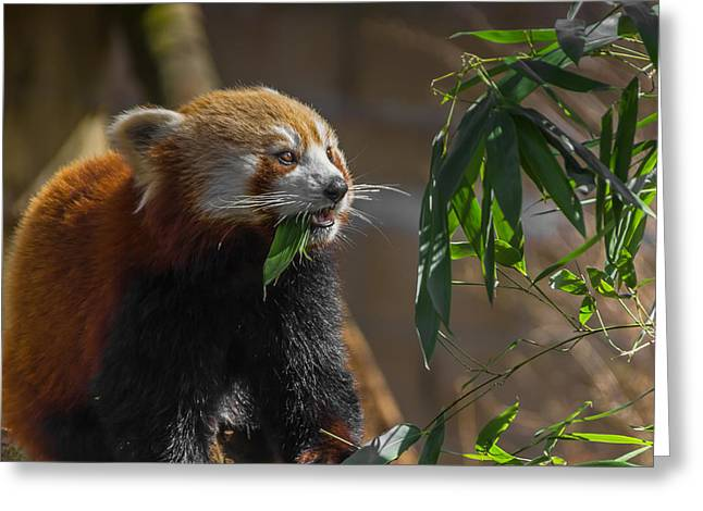 Red Panda Cafeteria Greeting Card by Chris Fletcher