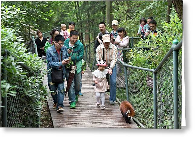 Red Panda Followed By Zoo Visitors Greeting Card by Tony Camacho