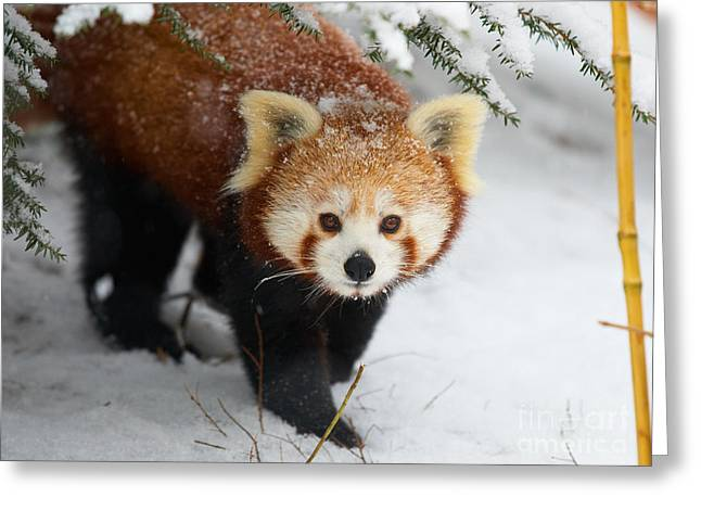 Red Panda In The Snow Greeting Card