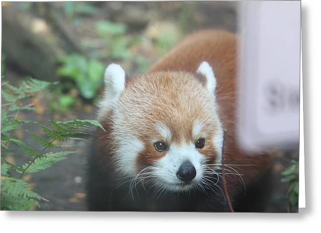 Red Panda - National Zoo - 01132 Greeting Card by DC Photographer