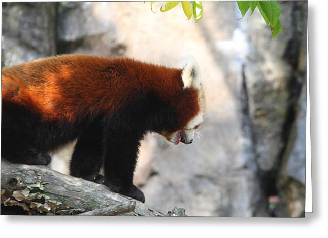 Red Panda - National Zoo - 01139 Greeting Card by DC Photographer