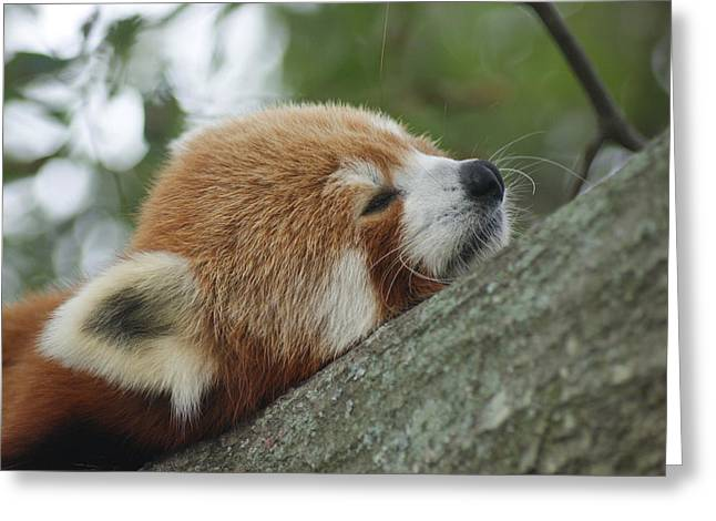 Red Panda Zen Greeting Card by Leigh Ann Hartsfield
