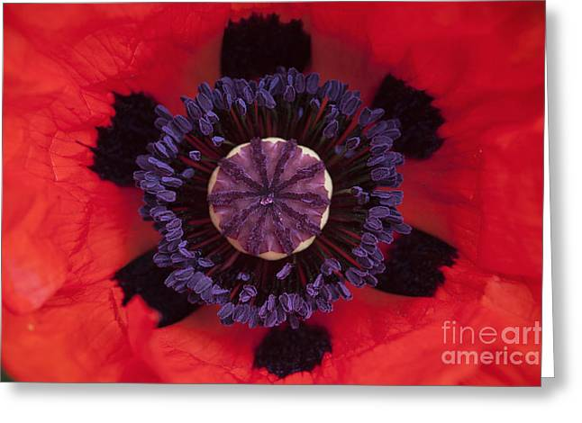 Red Papaver Orientale Greeting Card by Tim Gainey