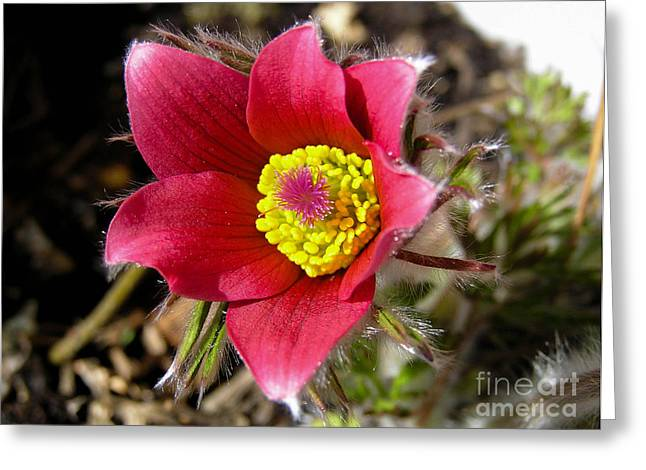 Red Pasque Flower - Closeup Greeting Card by Kerstin Ivarsson