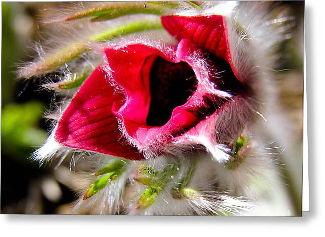 Red Pasque Flower In Sunlight - Closeup Greeting Card by Kerstin Ivarsson