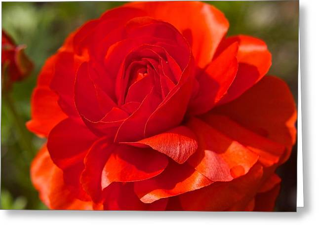 Red Peony Greeting Card by Sharin Gabl