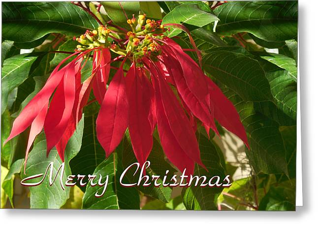 Red Poinsetta Card Greeting Card