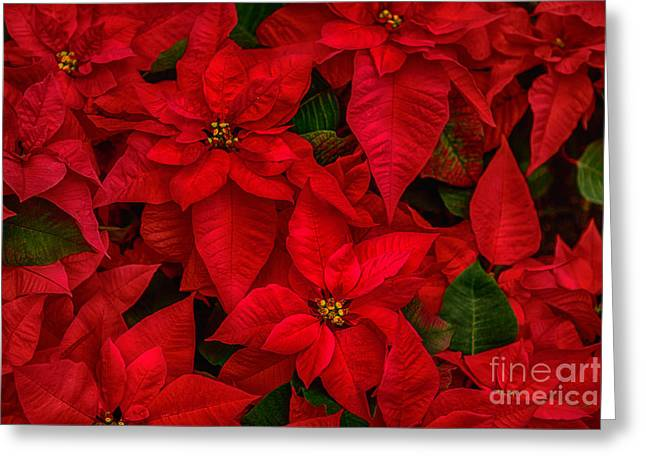 Red Poinsettia Christmas Star Hdr Greeting Card by Iris Richardson
