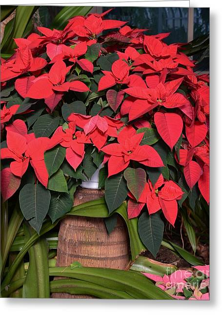 Red Poinsettia Greeting Card by Kathleen Struckle