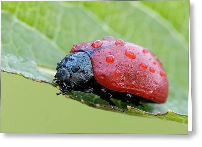 Red Poplar Leaf Beetle Greeting Card by Heath Mcdonald