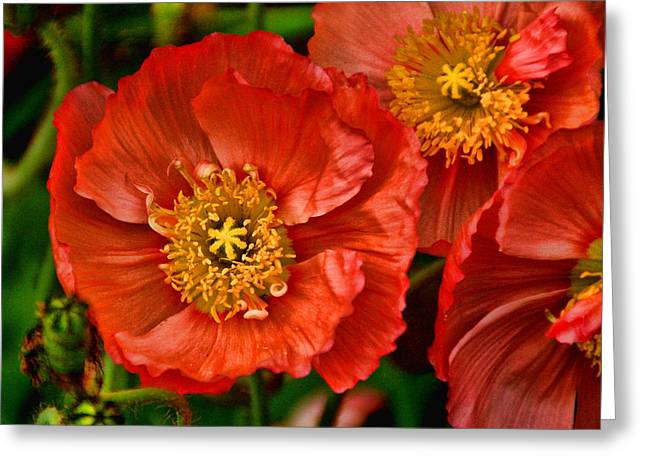 Red Poppies At Fort Worth Botanic Gardens Greeting Card