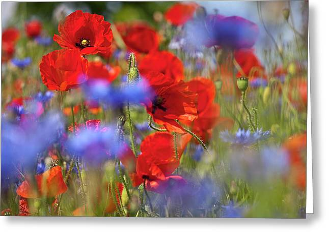 Red Poppies In The Maedow Greeting Card