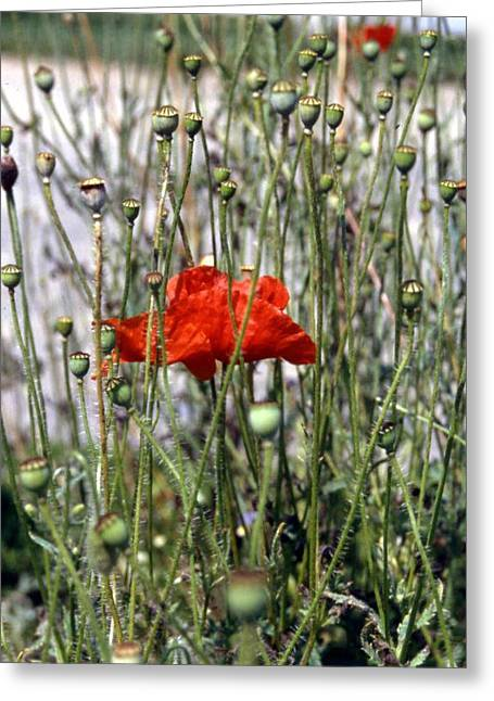 Red Poppy And Buds Greeting Card