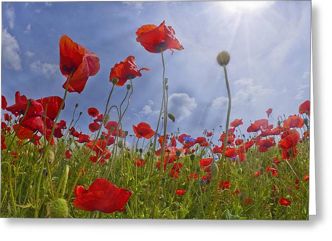 Red Poppy And Sunrays Greeting Card by Melanie Viola