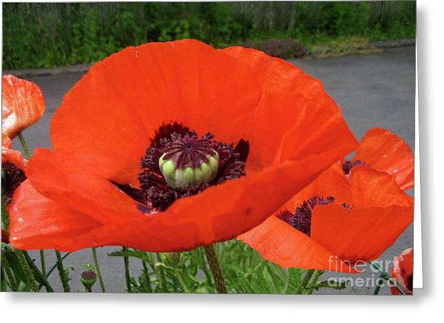 Red Poppy Greeting Card by Barbara Griffin