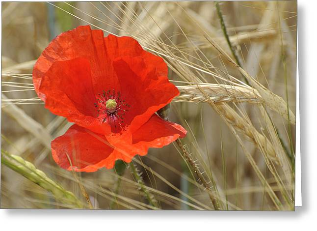 Red Poppy Greeting Card by Guido Montanes Castillo