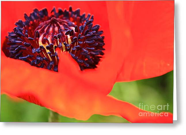 Red Poppy Greeting Card by Linda Bianic