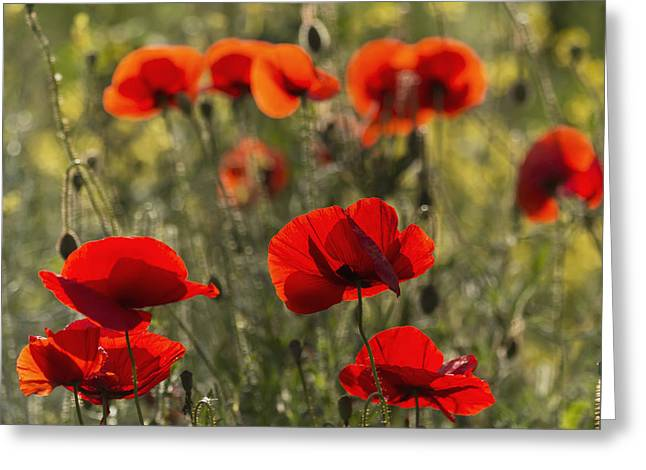 Red Poppy _papaver Rhoeas__ Upper Rhine Greeting Card by Carl Bruemmer