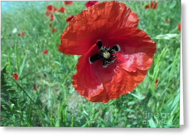 Greeting Card featuring the photograph Red Poppy by Vesna Martinjak