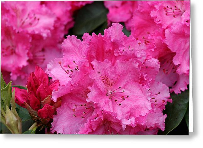 Red Rhododendrons Greeting Card