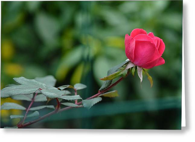 Red Rose I Greeting Card by Lisa Phillips