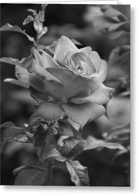 Red Rose In Bw Greeting Card by Thomas Woolworth