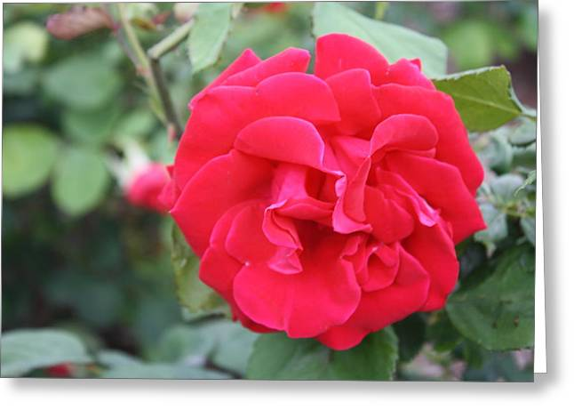 Red Rose Greeting Card by James Lawson