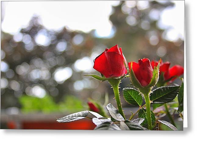Red Roses Greeting Card by Daniel Precht