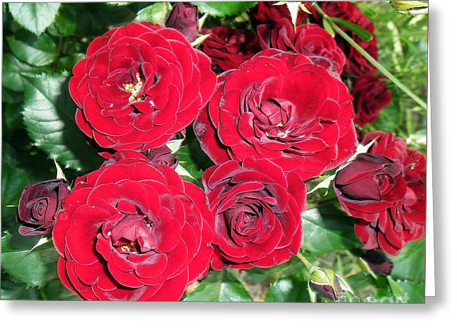 Greeting Card featuring the photograph Red Roses by Vesna Martinjak