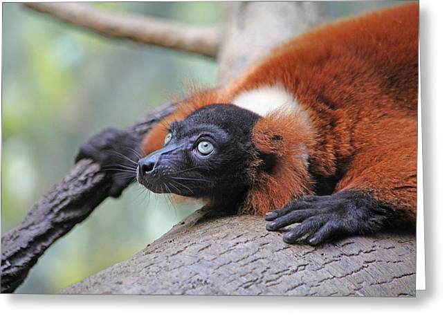 Red-ruffed Lemur Greeting Card by Karol Livote