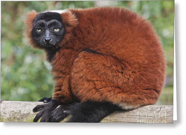 Red Ruffed Lemur Varecia Rubra Greeting Card by Terri Waters