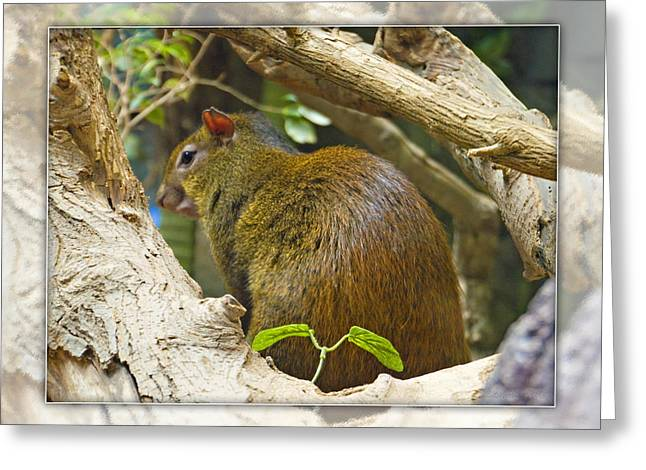 Red-rumped Agouti Greeting Card