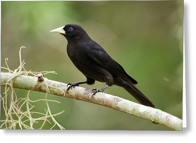 Red-rumped Cacique Cacicus Haemorrhous Greeting Card
