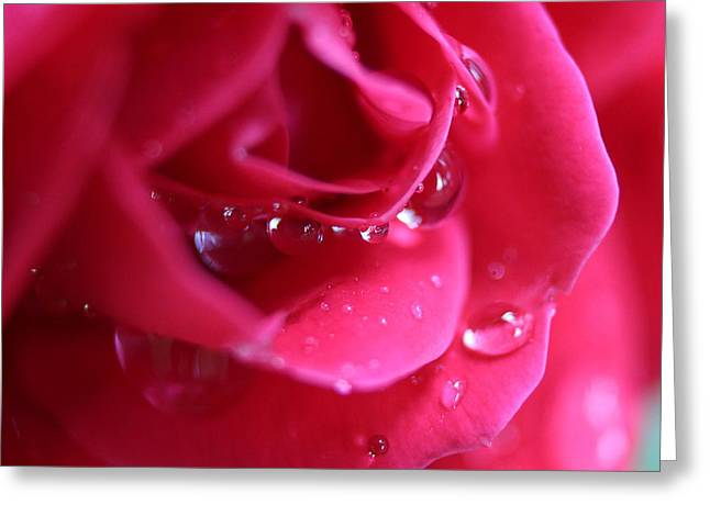 Red Scented Rose Greeting Card