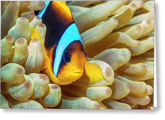 Red Sea Anemonefish Greeting Card by Georgette Douwma