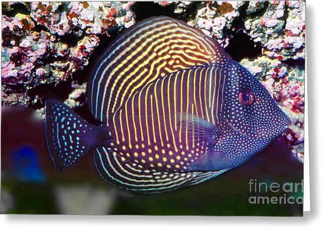 Red Sea Sailfin Tang  Zebrasoma Desjardinii Greeting Card by Wernher Krutein