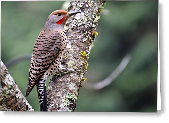 Red Shafted Flicker V Greeting Card by Ronda Broatch