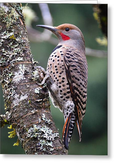 Red Shafted Flicker Vi Greeting Card by Ronda Broatch