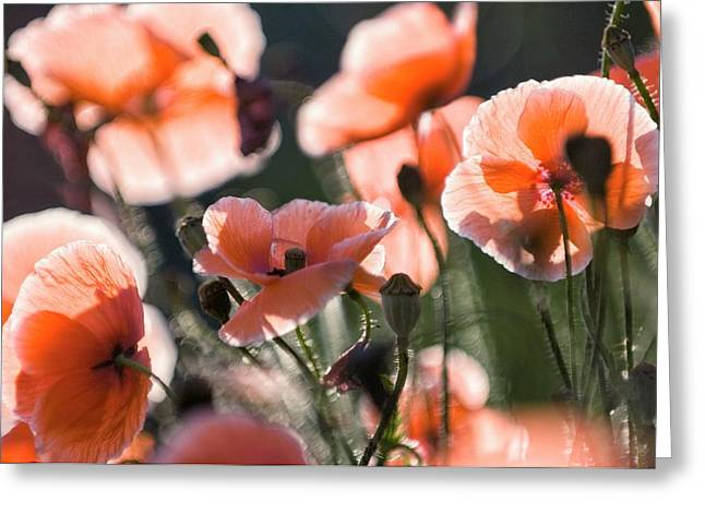 Red Shirley Poppies Greeting Card by Maria Mosolova